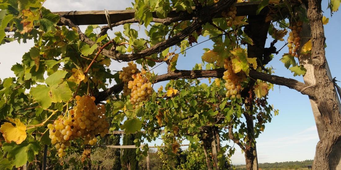Un vignoble avec les modes de culture antiques