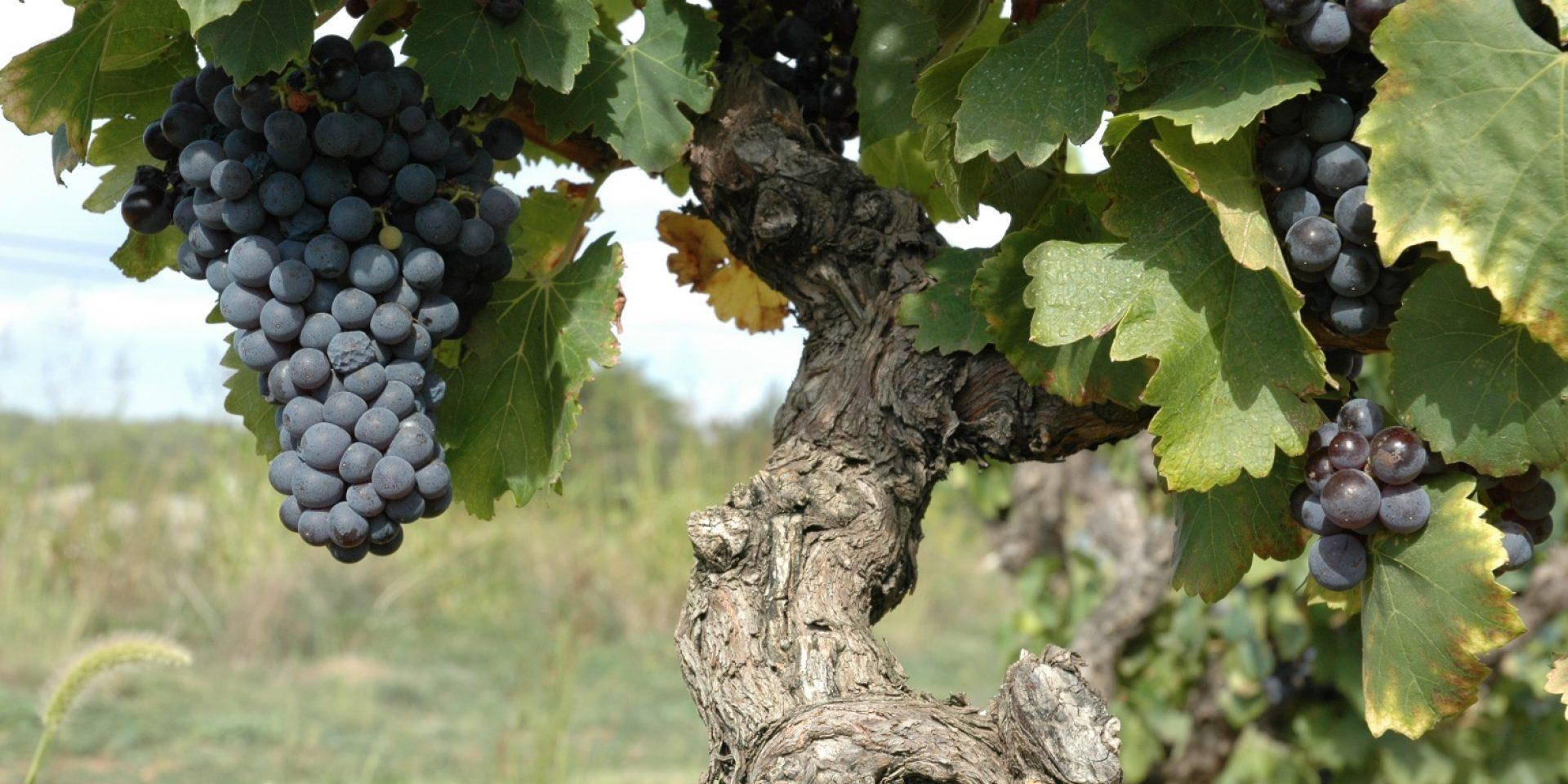 Un vignoble de Costières-de-Nîmes